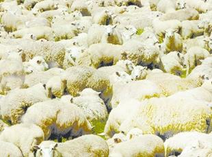 Gang of rustlers steal 271 sheep from East Lancs farmer