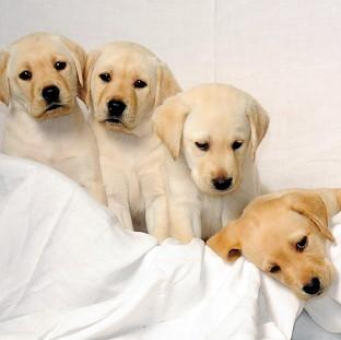 The Guide Dogs for the Blind Association is urging the Government to introduce compulsory microchipping for all dogs