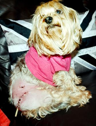 Yorkshire terrier Bonnie shows off its stitches after the attack