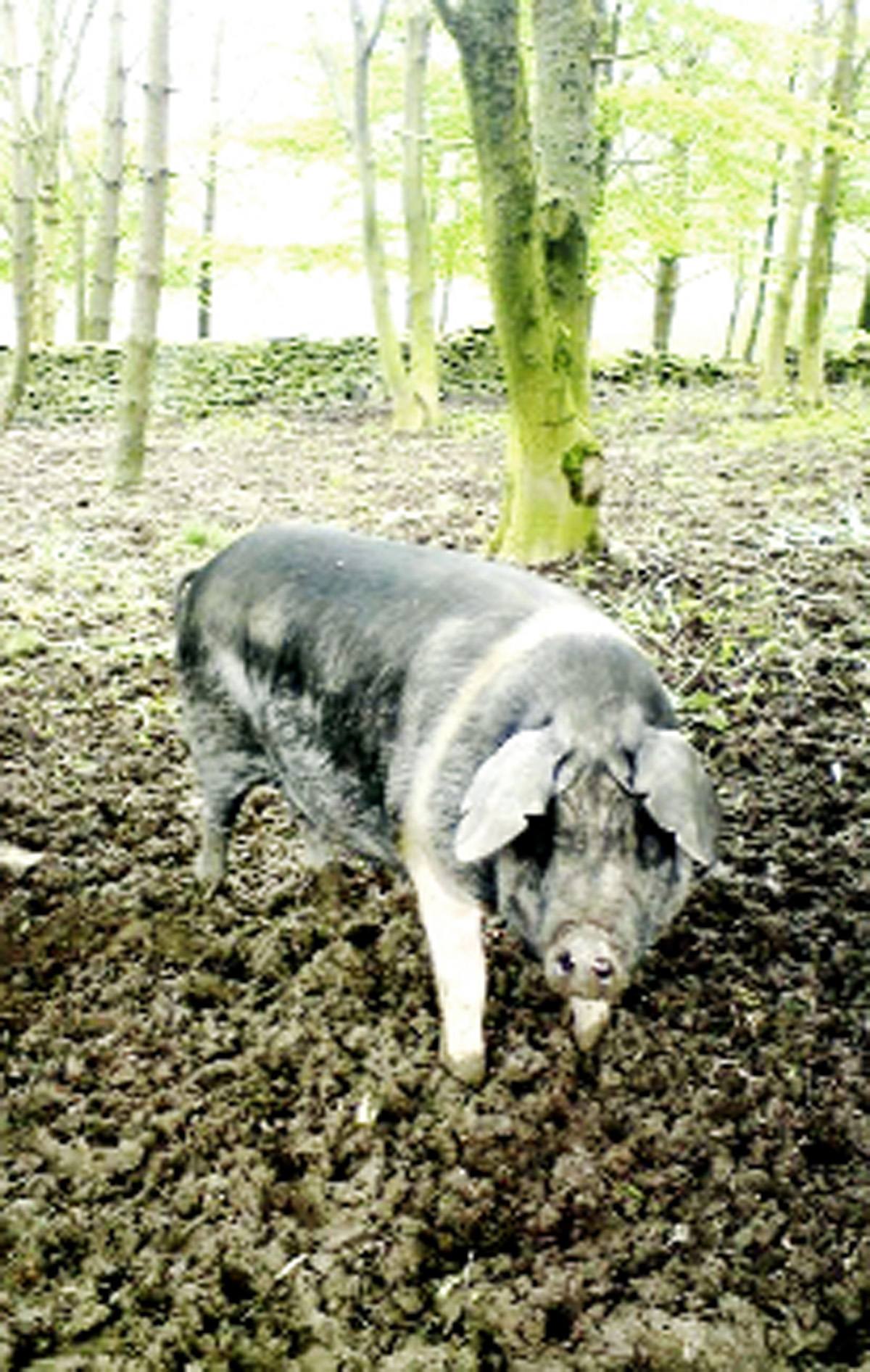 One of the runaway pigs