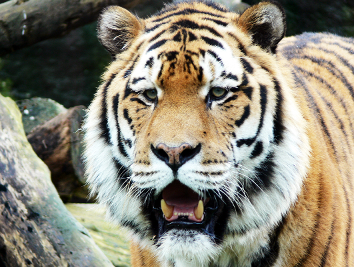 Burnley schoolboy captures winning photo of tiger at Blackpool Zoo