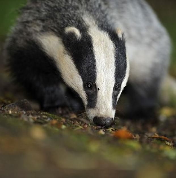This Is Lancashire: Campaigners have questioned claims that badger-culling trials were a success