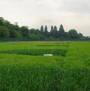 The site of a genetically modified crop trial, as it was reveal