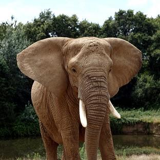 This Is Lancashire: Thousands of elephants are slaughtered each year because of Chinese demand for ivory