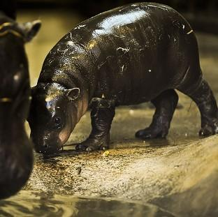 Winnie the three-week-old pygmy hippo stays close to mum Sirana at Bristol Zoo Gardens