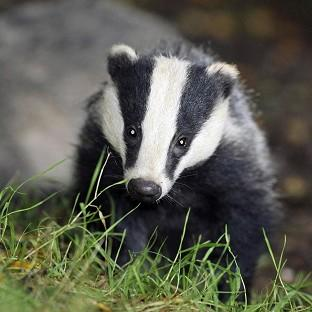 Pilot badger culls in Somerset and Gloucestershire caused suffering to the animals, an expert panel has found