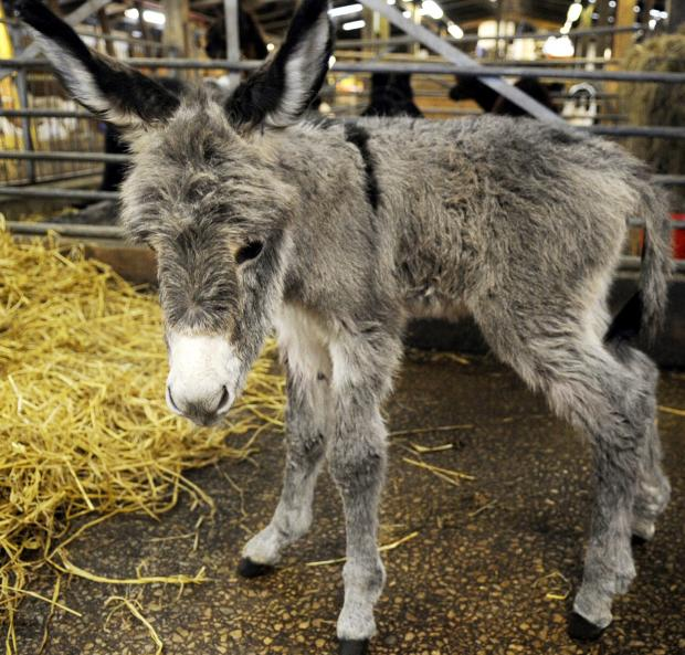 This Is Lancashire: The newborn donkey foal at Smithills Open Farm