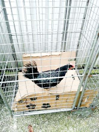 Blackburn Rovers chicken put in cells after pitch invasion