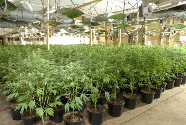 A £240,000 cannabis factory