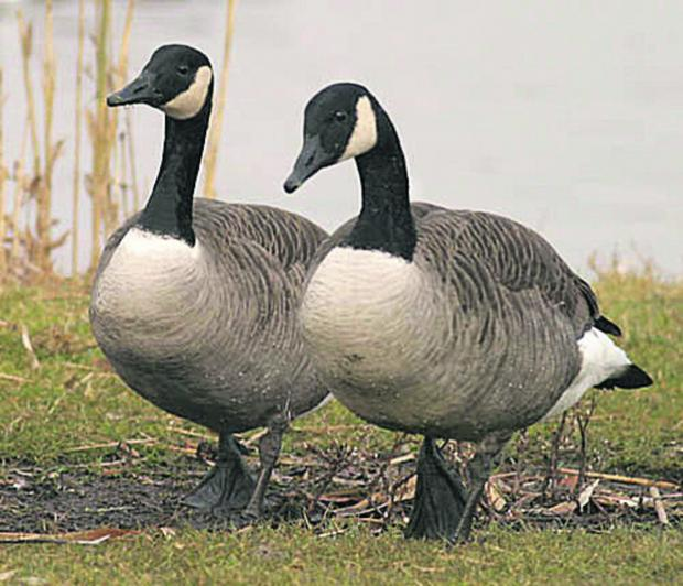 Canada geese. United Utilities has killed 60 of them because staff were being attacked by them.