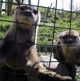 This Is Lancashire: Musa the otter gets in on the craze for selfies at the WWT Washington Wetland Centre in Tyne and Wear while his mate Mimi looks on