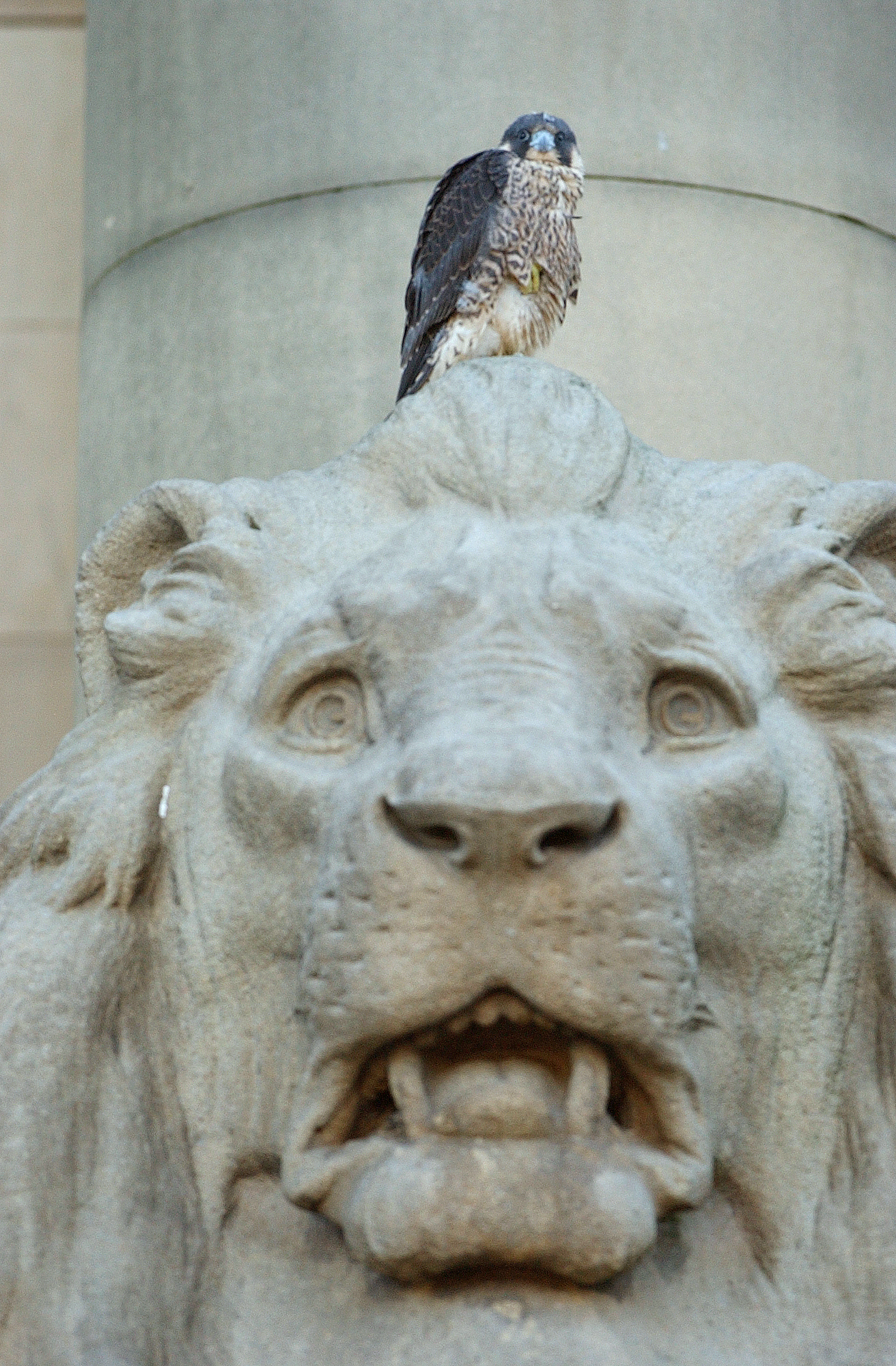 One of the falcons that has made Bolton Town Hall its home