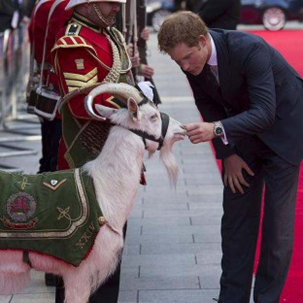 This Is Lancashire: Prince Harry pets Shenkin the goat, the regimental mascot of the 3rd Battalion, as he attends the 50th anniversary screening of Zulu