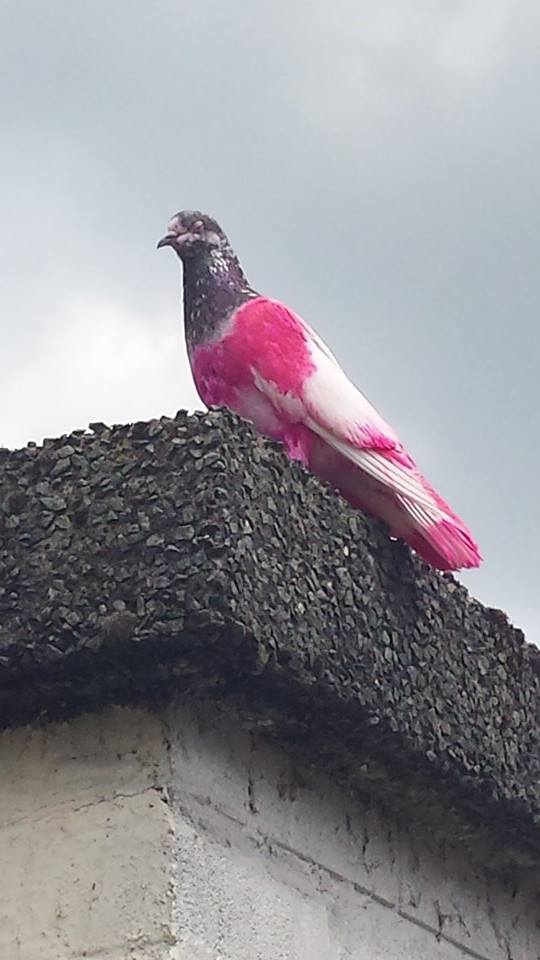 Mystery pink pigeon spotted on rooftops in Breightmet