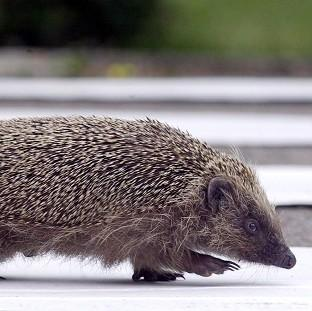 This Is Lancashire: The hedgehog population is in decline