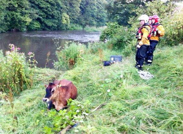 The pregnant Danish brown cow after it was rescued from the River Irwell.