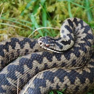 Adders are the UK's only venomous snakes