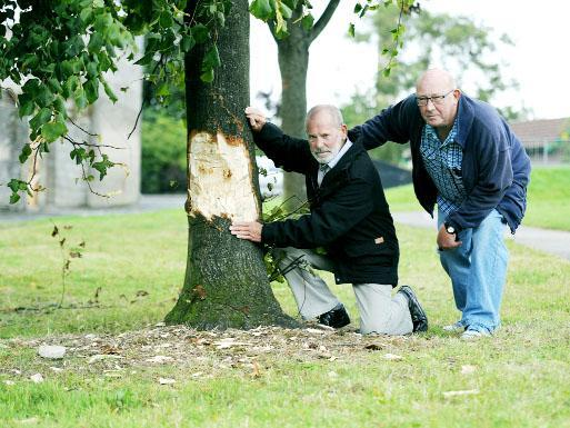 Couns Paul Browne, left, and Roy Davies with the damaged tree in Olive Lane park