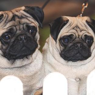 The number of medical procedures carried out on pugs and bulldogs has surged in the past five years