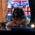 This Is Lancashire: Hagrid the 13-stone dog will attempt to break a world record on BGMT