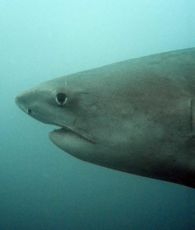 TIGER SHARK: One of more than 500 species