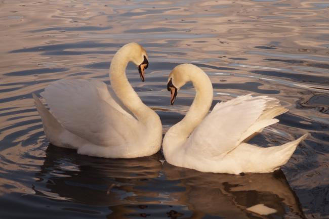 A pair of swans at Moses Gate Country Park. Picture by Dylan Pritchard